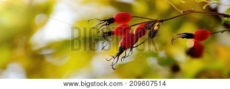 Autumn colours background. Rose hips on a dog rose. Wild briar red berries brunch on golden leaves Bokeh background. Web banner.