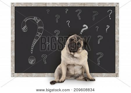 cute smart pug puppy dog sitting in front of blackboard with chalk question marks isolated on white background
