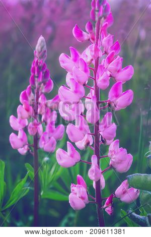 Pink lupine flower - Lupinus - closeup on a summer meadow. Selective focus toned.