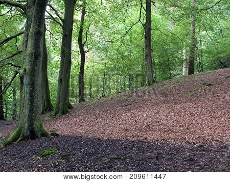 clearing in a hillside beech forest in early summer with patches of sunlight on the woodland floor