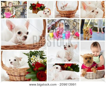Collage with white chihuahua, yorkshire terrier and two children