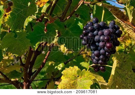 Grapes Fruits Closeup Vineyard Fall Leaves Autumn Farming Agriculture Wine Plants Outdoors Daytime