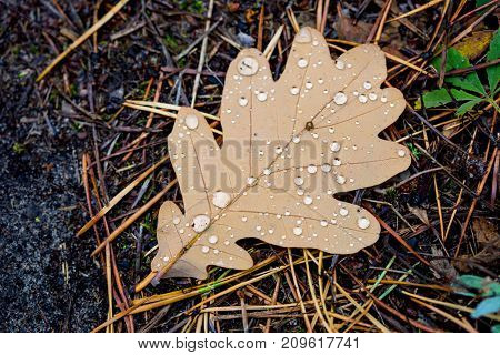 alone autumn oak leaf with water drops