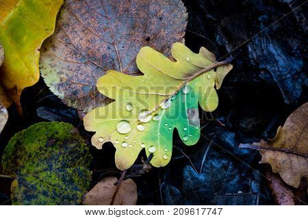 nice small autumn oak leaf with water drops
