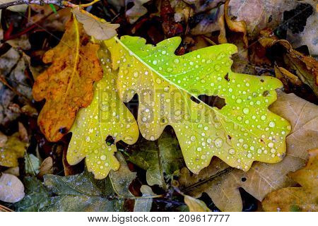 autumn oaks leafage with water drops