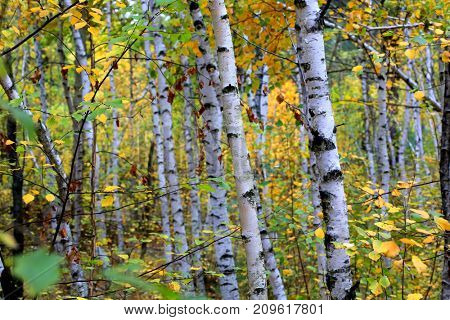 abstract birch trees in autumn forest