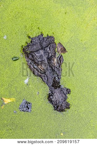Head Of Alligator Covered In Green Duckweed In Water Pond