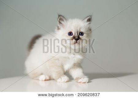 Small Kitten Cat Breed Sacred Burma On A Light Background
