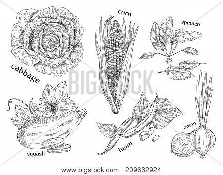 Set of isolated vegetables sketches for market or shop, food store or vegetarian diet menu. Corn and cabbage, spinach and squash, bean or peas, onion. Farming and agriculture, nutrition theme
