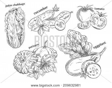 Organic food sketches. Hand drawn vegetables. Pekin or chinese cabbage, cucumber and tomato, patisson and eggplant. Vegetarian or vegan, garden and farming, agriculture and nutrition theme