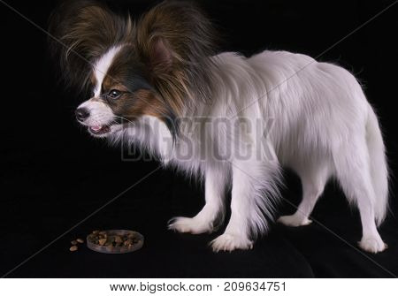 Beautiful young male dog Continental Toy Spaniel Papillon eats dry food on a black background