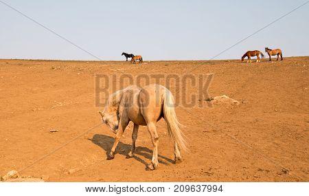 Palomino Stallion Wild Horse Licking Injured Left Leg On A Hillside In The Pryor Mountains Wild Hors