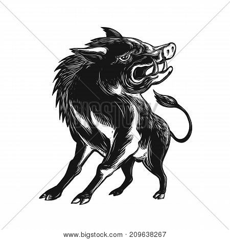 Scratchboard style illustration of an angry wild hog feral pig wild boar or razorback roaring viewed from low angle in front done on scraperboard on isolated background.