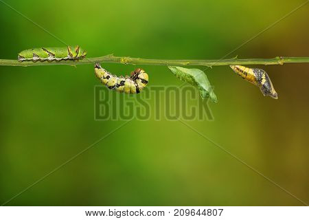 Lime Butterfly (papilio Demoleus) Life Cycle