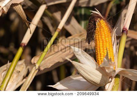 Maize cobs closeup - popular fodder. Central Poland Europe.
