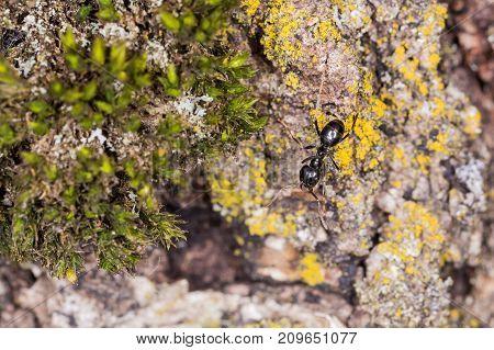 Ant on bark. Ant macro. Old Birch Bark Macro