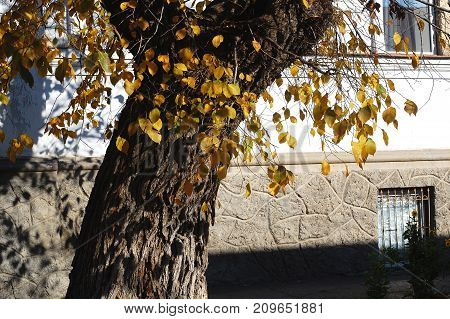 Concept Of Autumn In An Old Town. Sunlit Tree And Yeallow Foliage On The Background Of A White Old W