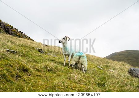 Black faced sheep on high country farm on Slieve Mish Mountains on Dingle Peninsula Ireland