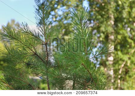 Fresh green needles of pine other trees out of focus at sunny day