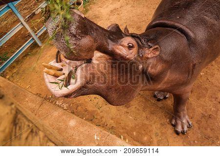 portrait of eating hippopotamus in Niamey, Niger