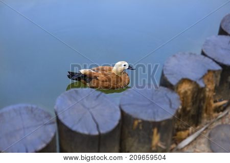 Birds in wildlife. Buetefull duck swims in lake or river with blue water under sunlight landscape. Closeup of funny duck.