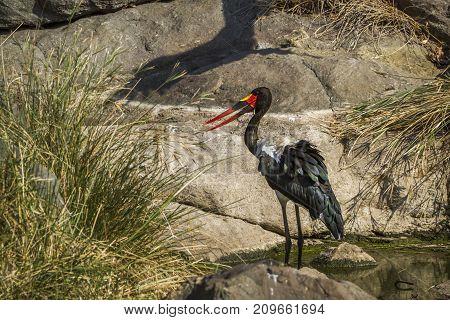 Saddle-billed stork in Kruger national park, South Africa ; Specie Ephippiorhynchus senegalensis family of Ciconiidae