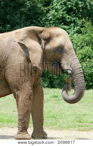 Africian Elephant Eating Hay