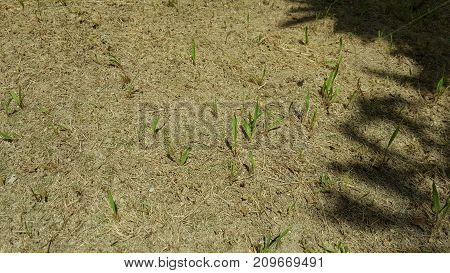New Blades of Grass Sprouting from Dry Ground with Tree Shadow on the Right