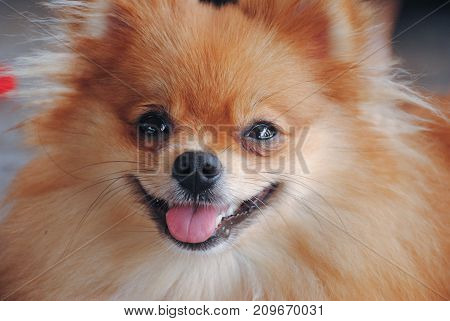 Portrait of cute german spitz dog closeup