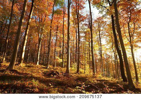 Autumn beech forest at sunrise. Poland.