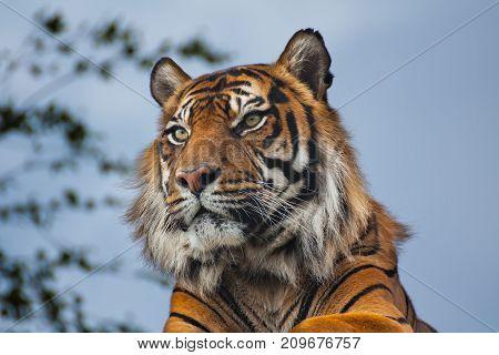 Sideview of a Royal Bengal Tiger (panthera tigris)