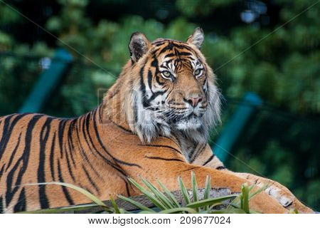 The Bengal tiger (Panthera tigris tigris) is the most numerous of the tiger species. Since 2010 it is listed as Endangered on the IUCN Red List. The Bengal tiger's coat is yellow to light orange with stripes ranging from dark brown to black; the belly and