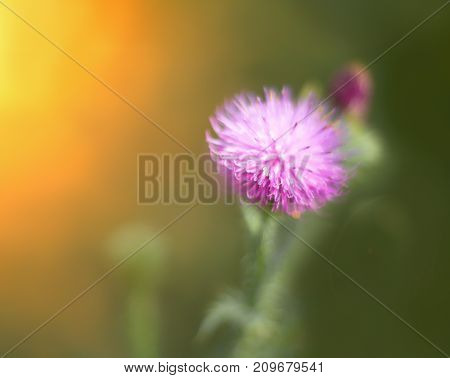 Flowering thistle close up in the soft sunlight . Bokeh  yellow green background. Floral  thistle background pattern