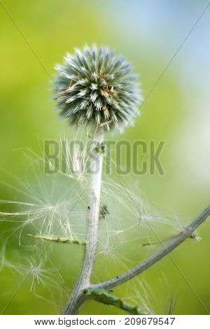 Thistle plant close up in the soft sunlight . Bokeh  green background. Floral  thistle background pattern
