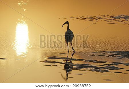 Sunset . The sacred ibis and reflection in the water in the rays of the departing sun.