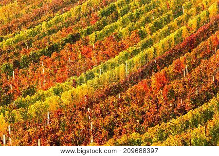 Rows of vineyard grape Vines. Autumn landscape with colorful vineyards. Grape vineyards of South Moravia in Czech Republic. Nice texture or background with selective focus.