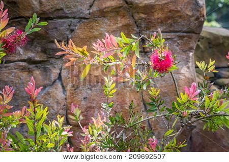 New Zealand Bottle Brush Plant. Vibrant green and light pink foliage with striking red bottle brush against rock background