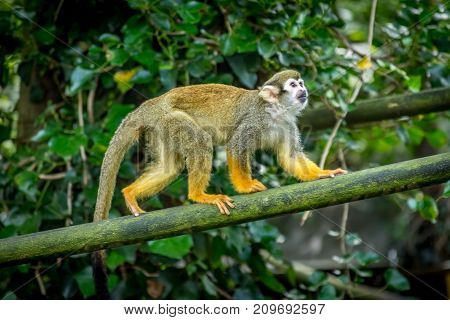 Squirrel Monkey climbing along wood. Common Squirrel Monkey (Saimiri sciureus sciureus) playing around and leaping between branches