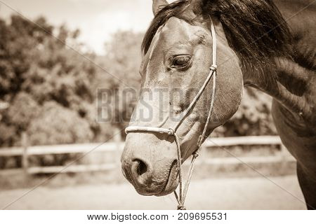Brown wild horse on meadow idyllic field. Agricultural mammals animals in natural environment.
