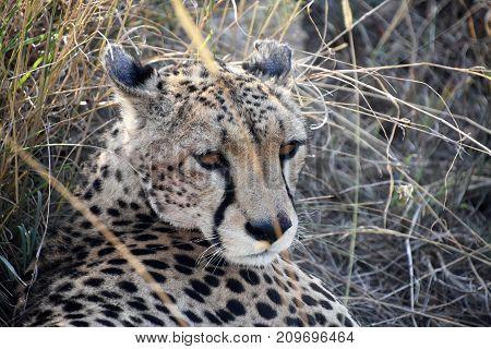 Tanzanian Cheetah resting at Ngorongoro crater, Tanzania