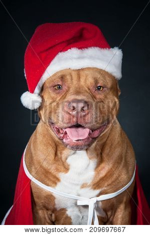 Dog in Santa's costume. A red pit bull in New Year's clothes. Portrait of dog isolated on black. Santa Claus. Gnome, dwarf, leprechaun.
