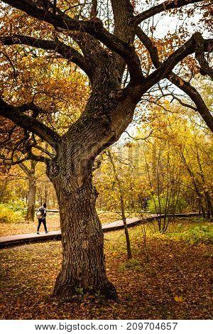 Oak Tree In An Autumn Park.