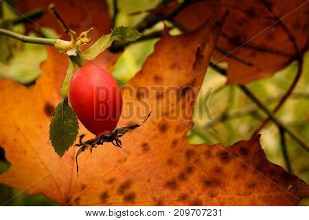 Fruit Rose On A Tree In Autumn.