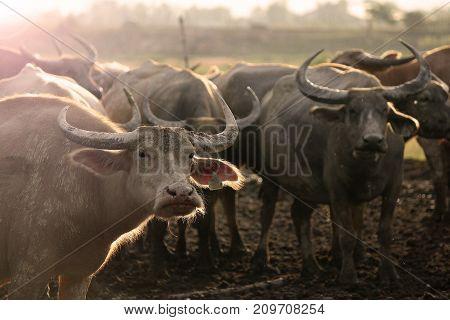 Thai buffalo, Thasala Nakhon Si Thammarat Thailand