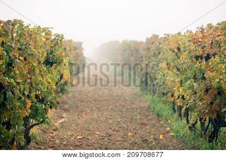 Grapes. Vineyards at sunset in autumn harvest. Wine Region Southern Moravia - Czech Republic Popice - Palava