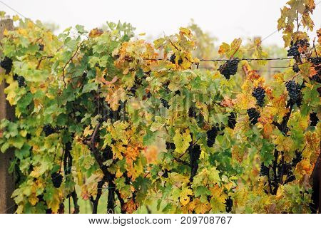 Ripe grapes. Vineyards at sunset in autumn harvest. Wine Region Southern Moravia - Czech Republic