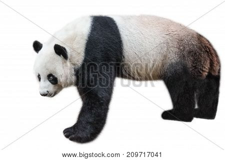 The Giant Panda, Ailuropoda melanoleuca, also known as panda bear, is a bear native to south central China. Panda standing, side view, isolated on white background, often used as an symbol of China.