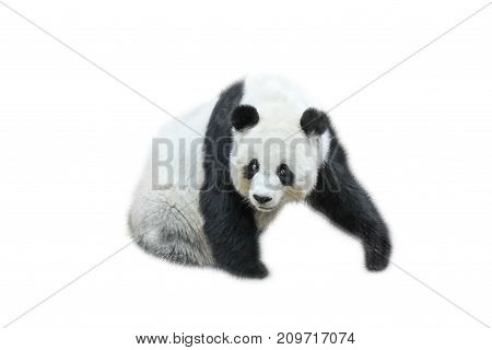 The Giant Panda, Ailuropoda melanoleuca, also known as panda bear, is a bear native to south central China. Panda sitting front view, isolated on white background, often used as an symbol of China.