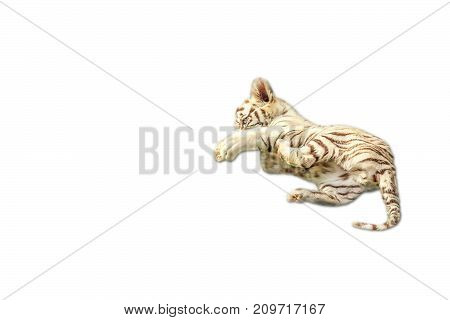 cute baby white tiger playing, Panthera tigris, play together. Isolated on white background. copy space on pure white