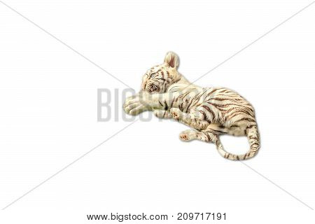 nice baby white tiger resting, Panthera tigris, play together. Isolated on white background. copy space on pure white